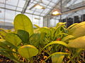 Spinach in greenhouse.jpg