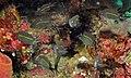 Spiny Chromis (Acanthochromis polyacanthus) juvenile (8478486068).jpg