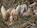 Spot-billed Pelican (Pelecanus philippensis) feeding a juvenile in Garapadu, AP W IMG 5236.jpg