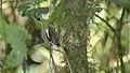 Spot-crowned Woodcreeper (Lepidocolaptes affinis) (5772496968).jpg