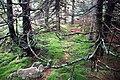 Spruce Knob - spruce forest 1.jpg
