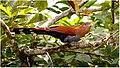 Squirrel Cuckoo (38838898721).jpg