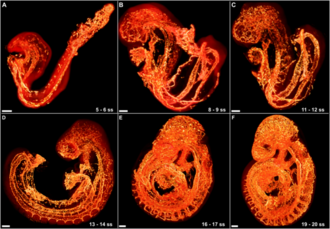Vascular remodelling in the embryo - (A and B) The vascular system at 5 somite forms as loose, disconnected network. (C) At the initiation of blood flow (approximately 10 somite) the vasculature begins to be remodelled into a more efficient network. (D - F) Progressive stages of vascular remodelling, culminating in the stereotypical circulatory system seen in (F).