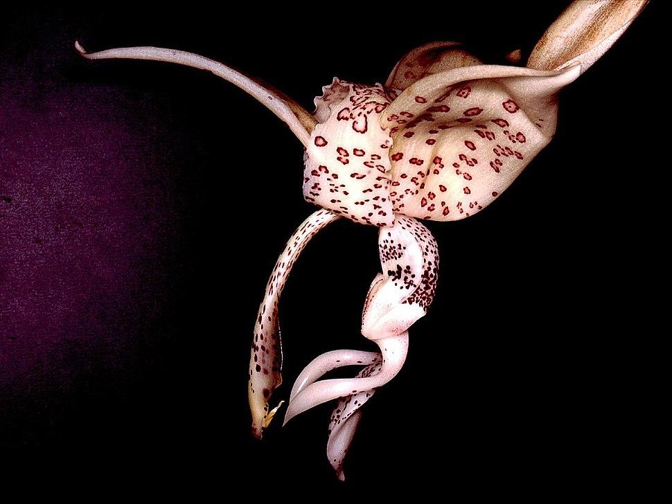 Stanhopea haseloviana Orchi 001
