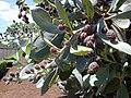 Starr-010330-0601-Conocarpus erectus-leaves and fruit-Kahului-Maui (24164357709).jpg