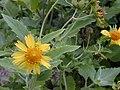 Starr-010520-0006-Verbesina encelioides-flower-Near camp-Kure Atoll (24506501536).jpg