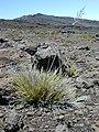 Starr-020625-0024-Deschampsia nubigena-habit-Kalahaku HNP-Maui (24182341439).jpg