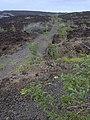 Starr-040331-0043-Nicotiana glauca-along road-Kanaio-Maui (24606873461).jpg