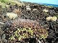 Starr-041223-2217-Senna gaudichaudii-with seed pods-Kanaio Beach-Maui (24629081391).jpg