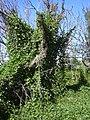 Starr-050222-0072-Coccinia grandis-smothering habit-Mokuauia-Oahu (24711439876).jpg