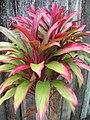Starr-060916-8970-Cordyline fruticosa-small red form-Makawao-Maui (24747522652).jpg