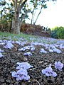 Starr-070519-7130-Jacaranda mimosifolia-flowers on ground-Makawao-Maui (24889322245).jpg