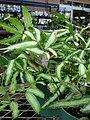 Starr-080103-1378-Pteris cretica-variegated habit-Lowes Garden Center Kahului-Maui (24275089933).jpg