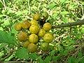 Starr-080601-8964-Solanum torvum-fruit being eaten by emerald beetles-Community garden Sand Island-Midway Atoll (24616306290).jpg