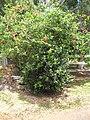 Starr-090609-0375-Ilex aquifolium-habit-Haiku-Maui (24595657179).jpg