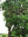 Starr-090618-1247-Syzygium malaccense-white flowering habit-Wailua-Maui (24598416169).jpg