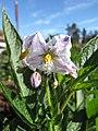 Starr-091023-8519-Solanum muricatum-flowers-Kula Experiment Station-Maui (24691276900).jpg
