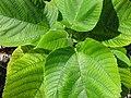 Starr-091104-0759-Broussonetia papyrifera-leaves-Kahanu Gardens NTBG Kaeleku Hana-Maui (24894240521).jpg