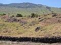 Starr-100602-6693-Bocconia frutescens-habitat view mauka-Keokea-Maui (24921459282).jpg