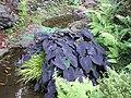 Starr-110307-2125-Colocasia esculenta-black habit-Kula Botanical Garden-Maui (24450783963).jpg