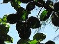 Starr-110330-4120-Tectona grandis-habit-Garden of Eden Keanae-Maui (24963110332).jpg