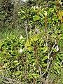 Starr-110331-4386-Protea cynaroides-flowering habit-Shibuya Farm Kula-Maui (24963515852).jpg