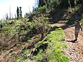 Starr-110727-7939-Prunus cerasifera x salicina-habitat with Kim-Polipoli-Maui (24475062313).jpg