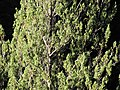 Starr-111012-0731-Juniperus bermudiana-habit-Kahana-Maui (25092345206).jpg