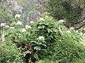 Starr-111129-1521-Montanoa hibiscifolia-flowering habit-Ulupalakua-Maui (24824881230).jpg