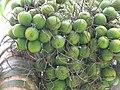 Starr-120522-6060-Areca catechu-fruit-Iao Tropical Gardens of Maui-Maui (24847423940).jpg