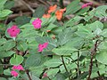 Starr-120522-6166-Impatiens walleriana-flowers-Iao Tropical Gardens of Maui-Maui (24847595140).jpg