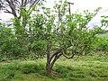 Starr-130708-5636-Jatropha curcas-habit-Ulupalakua Ranch-Maui (25219633605).jpg