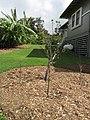 Starr-150217-0317-Prunus cerasifera x salicina-flowering habit-Hawea Pl Olinda-Maui (25264776445).jpg