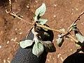 Starr-151213-0955-Alternanthera caracasana-leaves-Hakioawa-Kahoolawe (25682061373).jpg