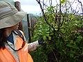 Starr-170727-0557-Psychotria mariniana-with Kim along fence-Makamakaole-Maui - Flickr - Starr Environmental.jpg