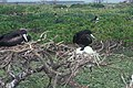 Starr-990518-0808-Tournefortia argentea-with frigatebirds-Eastern Island-Midway Atoll (23898729194).jpg