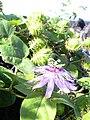 Starr 040410-0020 Passiflora foetida.jpg