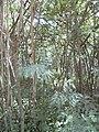 Starr 040711-0263 Leucaena leucocephala.jpg