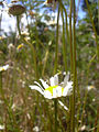 Starr 040723-0096 Leucanthemum vulgare.jpg