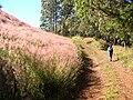 Starr 041219-1611 Melinis minutiflora.jpg