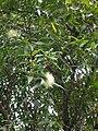 Starr 050107-2977 Syzygium jambos.jpg