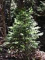 Starr 050831-7709 Sequoia sempervirens.jpg