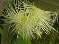 Starr 060916-8839 Syzygium jambos.jpg