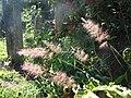 Starr 061128-1605 Melinis minutiflora.jpg