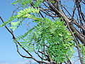 Starr 070404-6601 Prosopis juliflora.jpg
