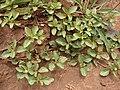 Starr 070404-6640 Acanthospermum australe.jpg