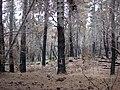 Starr 070908-9176 Pinus sp..jpg