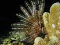 Stephanometra indica Mayotte.jpg