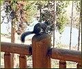 Steve the Squirrel, Grand Lake, CO 8-28-12 (8071496256).jpg