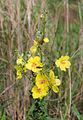 Stomorhina lunata on Verbascum sinuatum.jpg